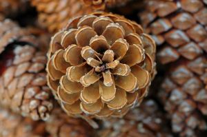 Looking at the pine cone you will notice the spiral that it naturally takes. Image: Böhringer Friedrich, via Wikimedia Commons.