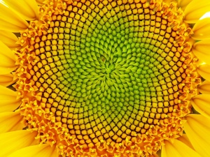 Fibonacci Sequence in a sunflower. Image: Ginette, via Flickr.